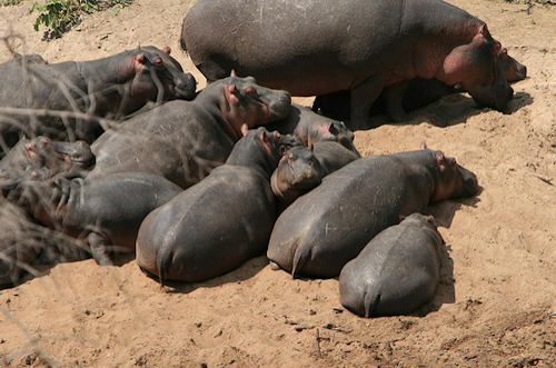hippos safari