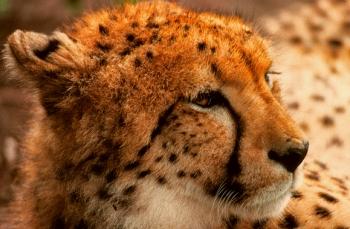 cheetah tanzania