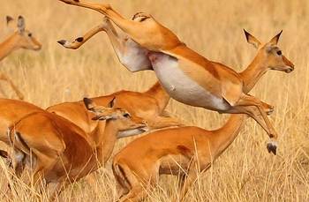 gazelle safari
