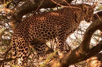 leopard safari in Tanzania
