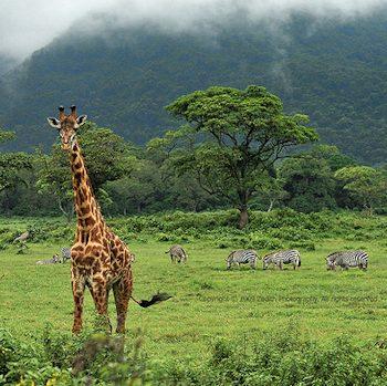 giraffe safari arusha